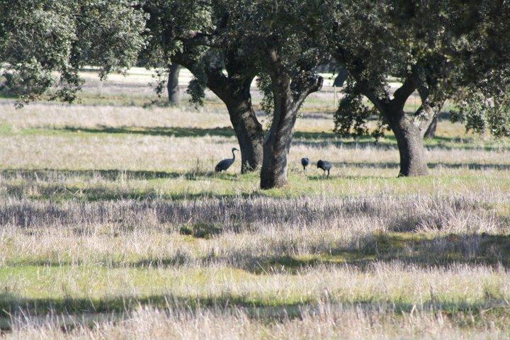 40-grullas-extremadura-azuaga-birding
