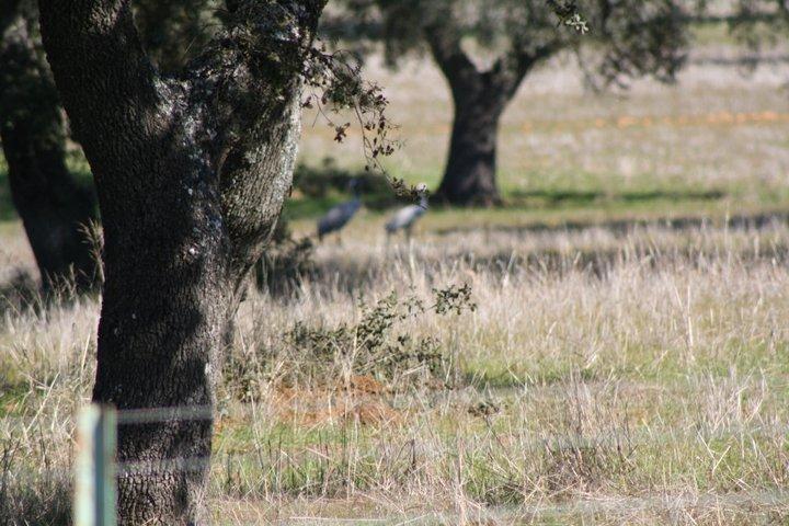 48-grullas-extremadura-azuaga-birding