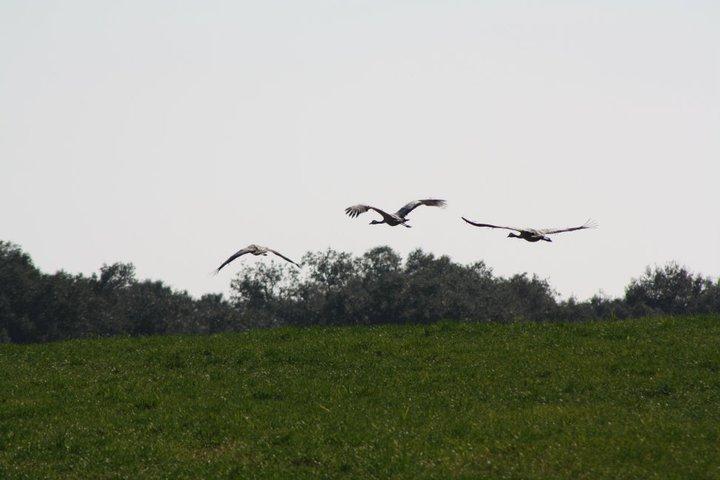 53-grullas-extremadura-azuaga-birding