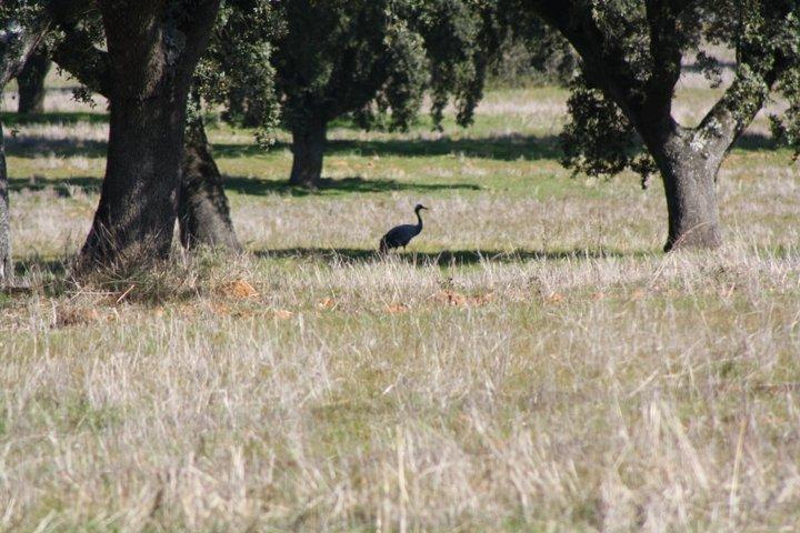 47-grullas-extremadura-azuaga-birding