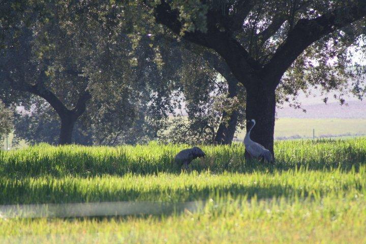 68-grullas-extremadura-azuaga-birding