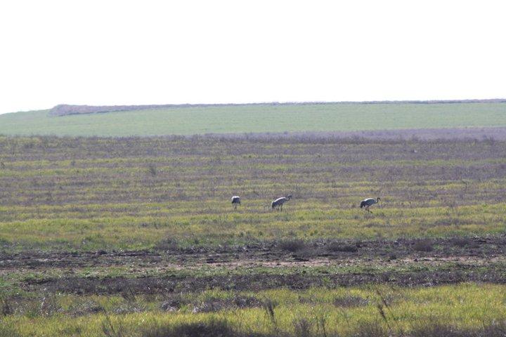 71-grullas-extremadura-azuaga-birding
