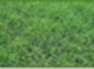 bermuda grass.png