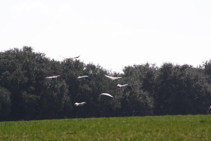 58-grullas-extremadura-azuaga-birding