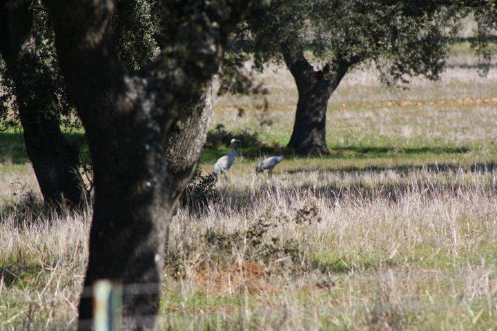 44-grullas-extremadura-azuaga-birding