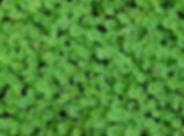 dichondra 3.jpg
