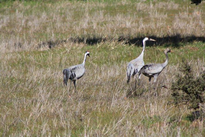 Birding Extremadura Azuaga Grullas