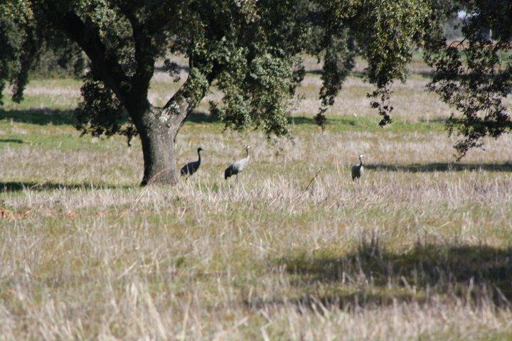 43-grullas-extremadura-azuaga-birding