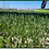 Thumbnail: Fussion Grass