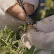 """Cross-breeding of chickpea varieties, ICARDA research station, Terbol, Bekaa Valley, Lebanon, still from Jumana Manna """"Wild Relatives"""" (2018), Director of Photography: Marte Vold"""