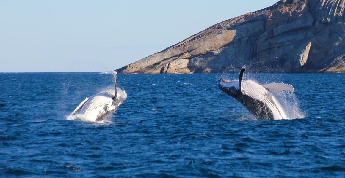 Two breaching Humpbacks