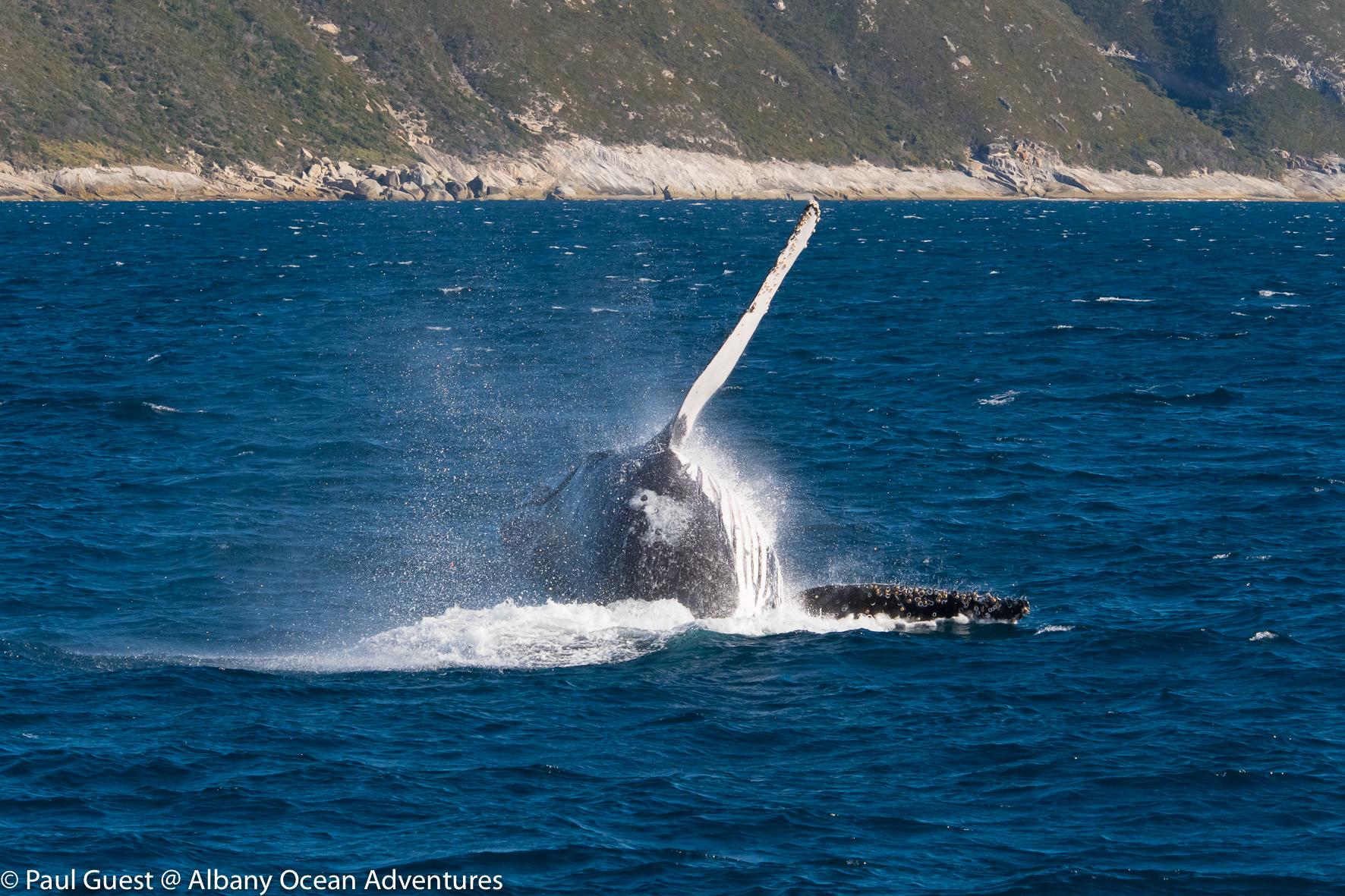 Humpback Whale-2019-07-17-239