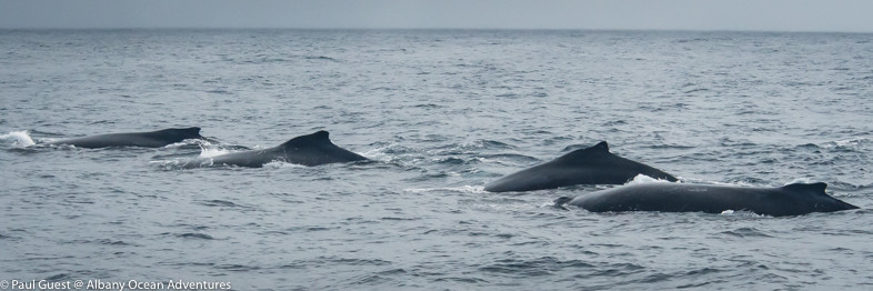 A misty day so my camera stayed under cover for most of the cruise. Total whales seen some where around 15 to 20 humpbacks.