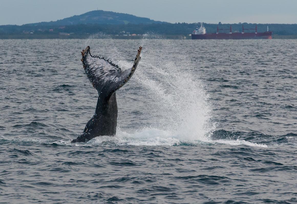 Humpback tail.