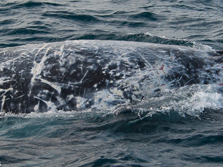 Motley Young Humpback Whale