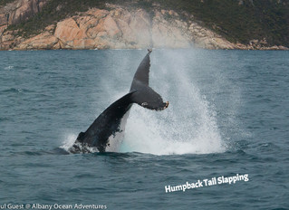 9 Humpbacks for the Cruise