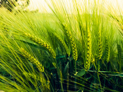 Barley field in sunset time,Barley grain