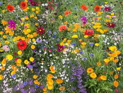 wild flower mix with poppies and lots of