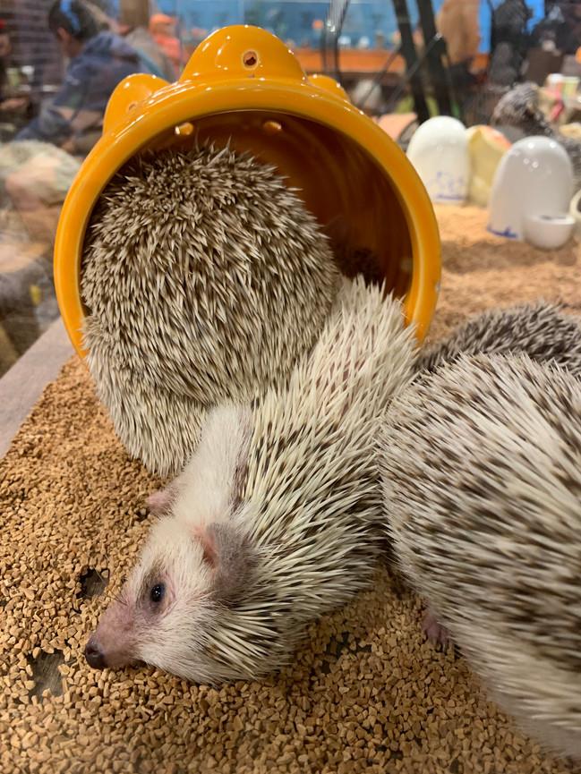 Hedgehog cafe, Harajuku