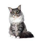 Coon-Cat_edited.png