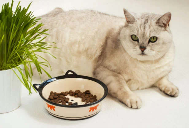 Free Feeding? 4 Reasons Why Grazing Is Harming Your Cat