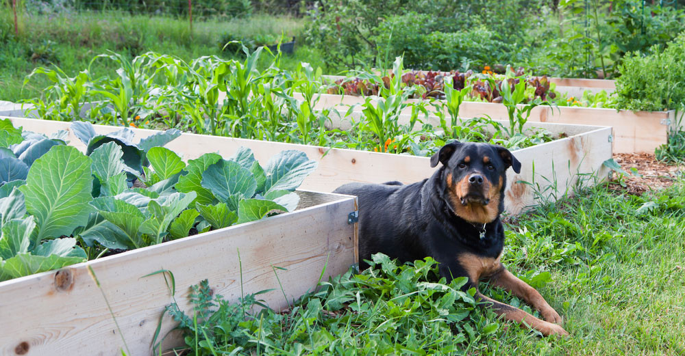 Can dogs eat vegetables?