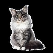 Coon-Cat.webp