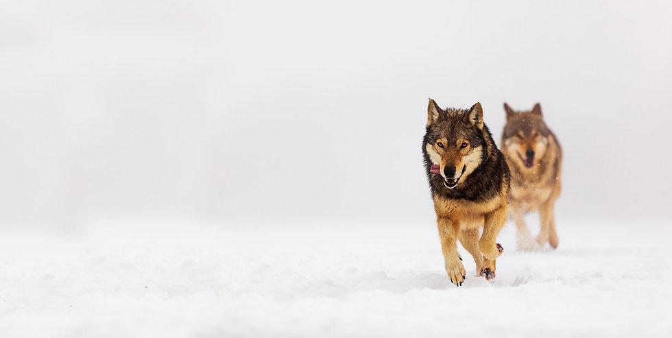 Wolfs-Running.jpg