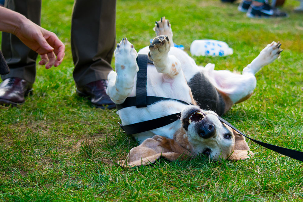 Basset Hound rolling in the grass. How to keep your dog happy and healthy.