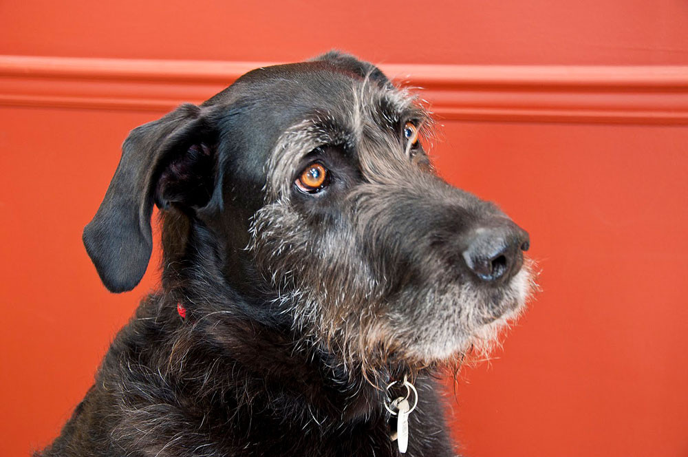 Adhara Irish Wolfhound Thriving on OLIE Naturals Whole Food Supplements