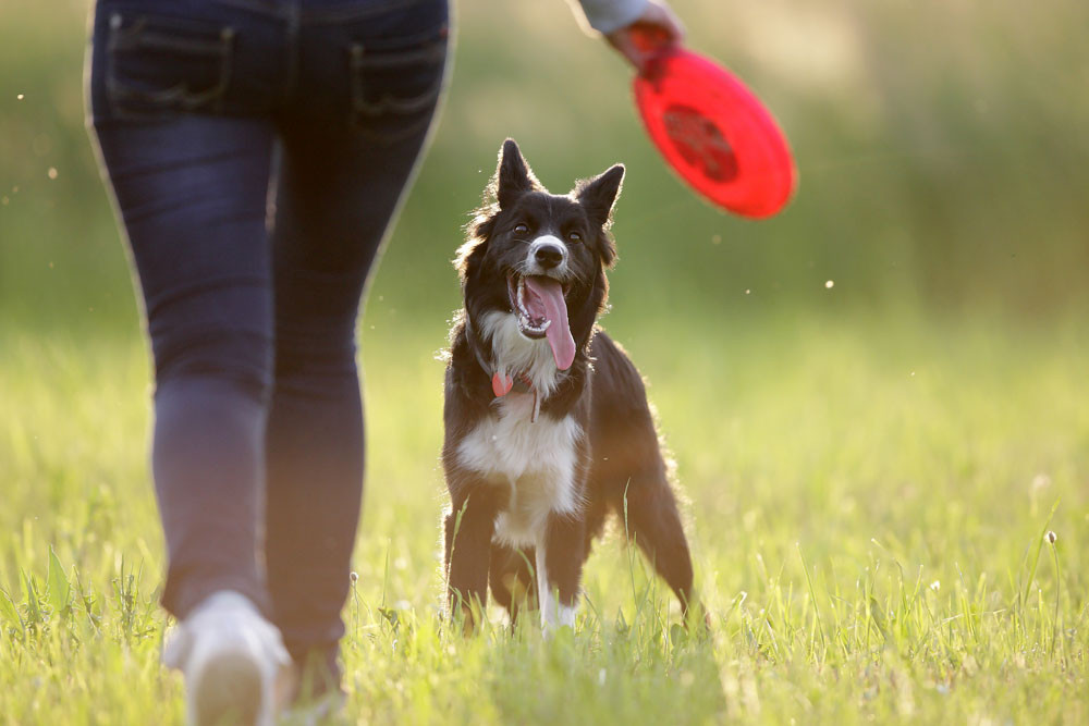 Dog playing frisbee outside in a field. How to keep your dog happy and healthy