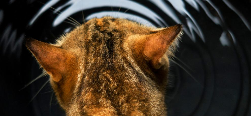6 Causes of Cat Constipation #1 Dehydration
