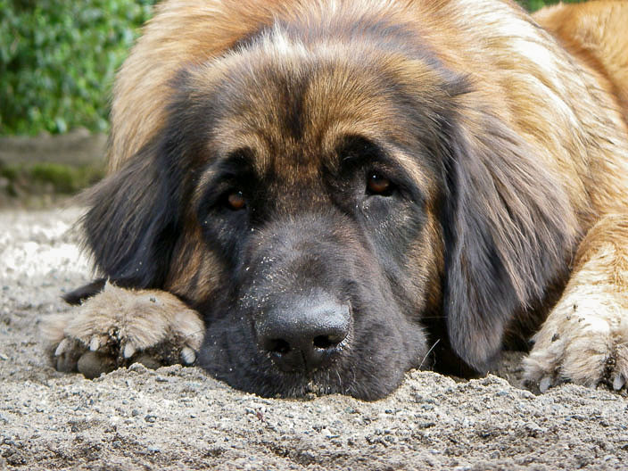 Giant breed dog leonberger. Giant breed health