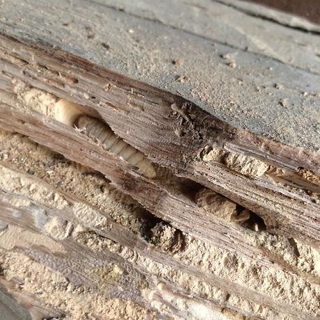insecte-larve-xylophage.jpeg