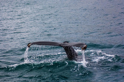 שיט של צפיה בלווייתנים