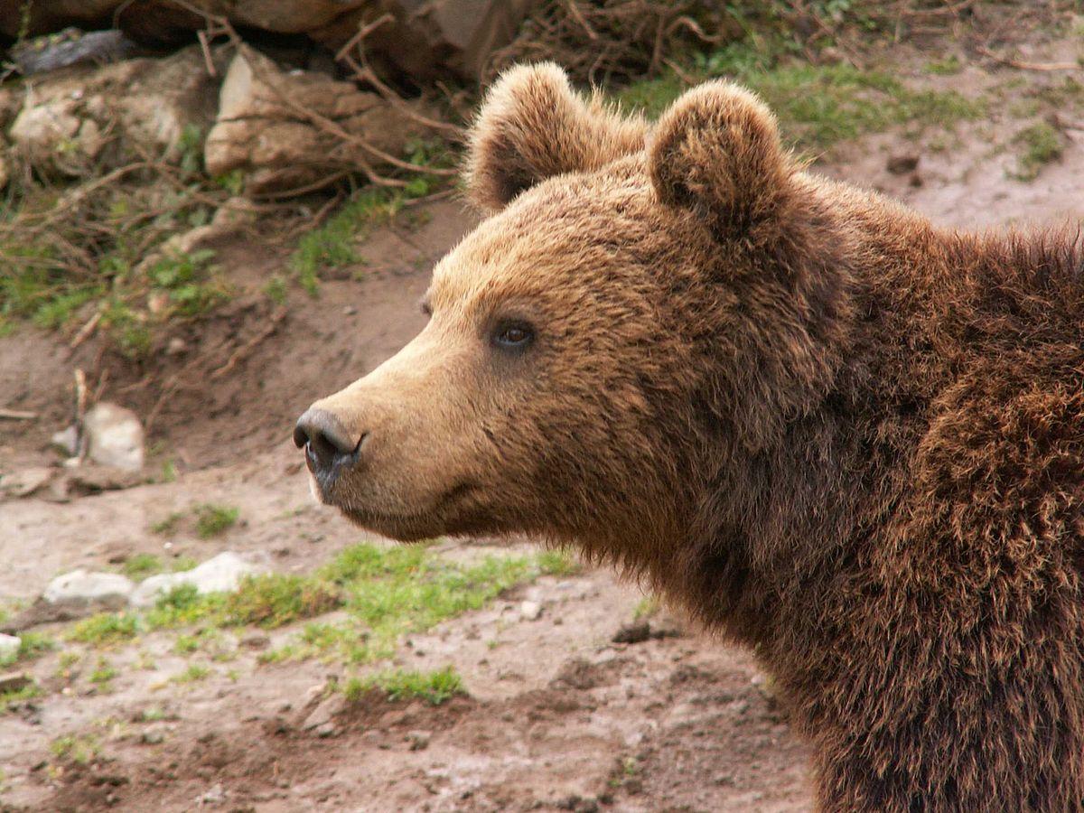 מקלט לדובים חומים