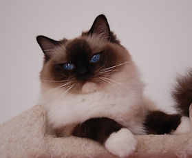 Ragdoll Seal Mitted