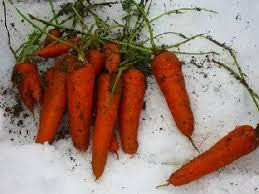 carrots-under-the-snow-2