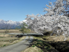 Cherry Blossoms in Snow Country