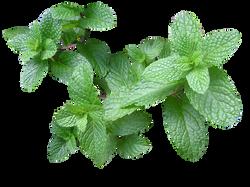 herb-2540568