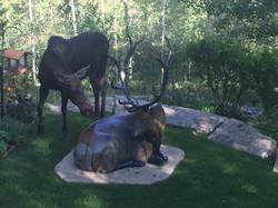 Moose Checks Out Elk