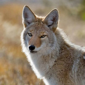 Are Catios Coyote Safe?