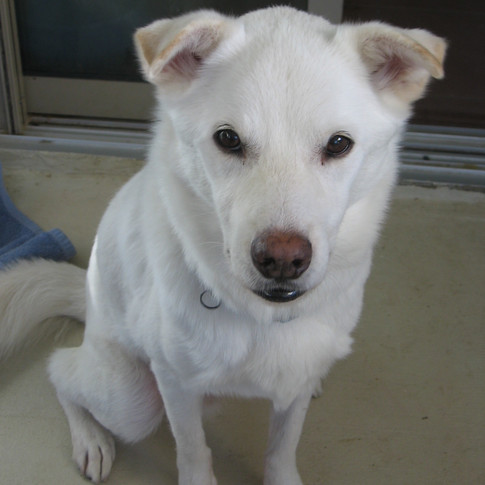 White Dog
