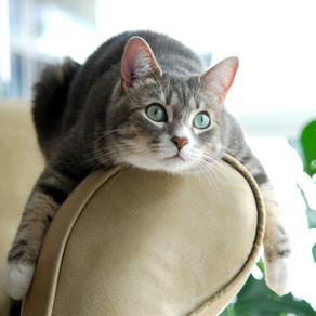 Feline Hyperthyroidism & Fire Retardants