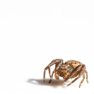 Ground Crab Spiders - Xysticus