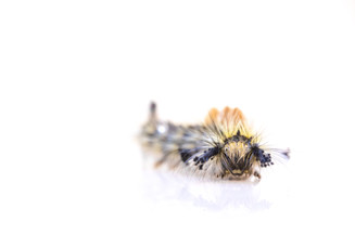 Rusty Tussock Moth - Orgyia antiqua