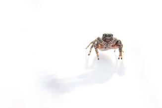 Proszynski's Jumping Spider - Evarcha proszynskii