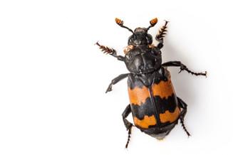 Banded Sexton Beetle - Nicrophorus investigator