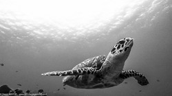 Sea turtle - Caretta caretta