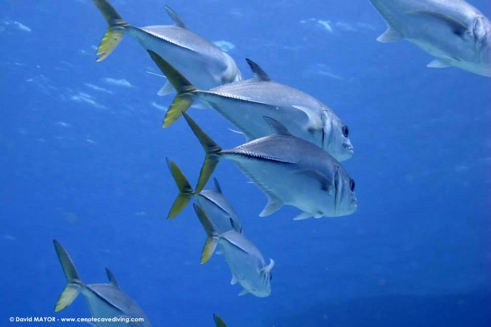 Pelagain fish Cozumel